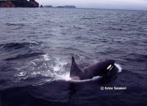 Orca_off_muroran_by_ks