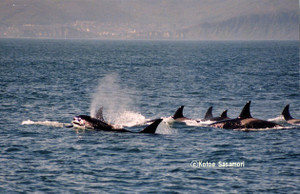 Orca_pod_off_muroran_by_ks2