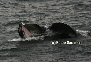 Humpback_whale_opened_its_big_mouth
